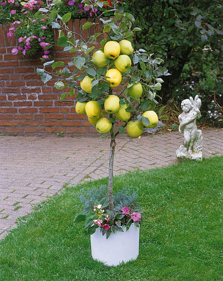 pommier fruitier nain
