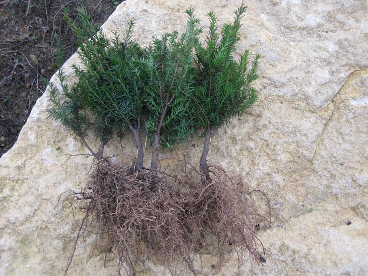 racines nues-habillage des racines
