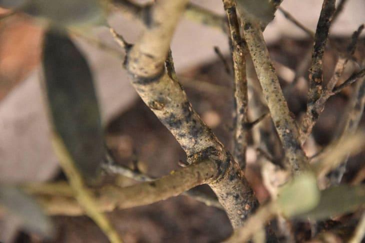 Tâche noire sur arbre du verger en automne