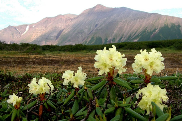 rhododendrons arrosage en hiver