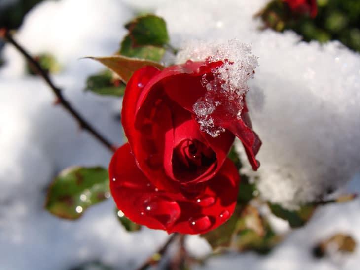 rosiers hivernage des plantes