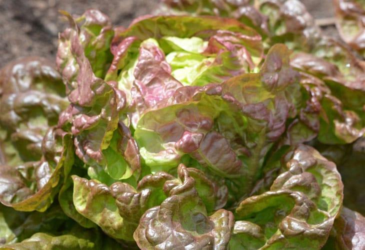 brune d'hiver salades d'hiver