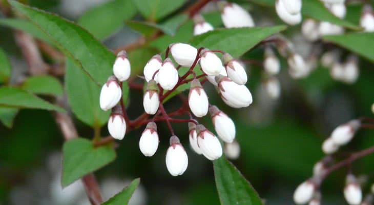 deutzia taille des plantes en hiver