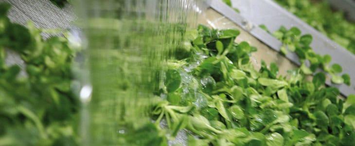 Salades d'hiver - Salade d hiver a Planter