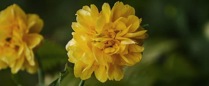 Corête du Japon ou Kerria Japonica - Corête du Japon Culture Facile