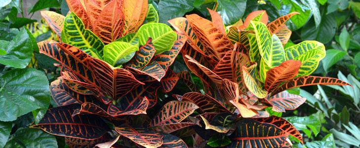 Croton la serre au printemps