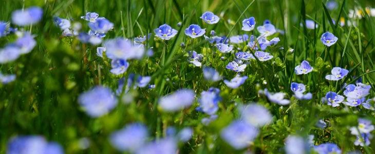 Fleurs de Printemps - Espèces à Planter au Jardin ou au Balcon