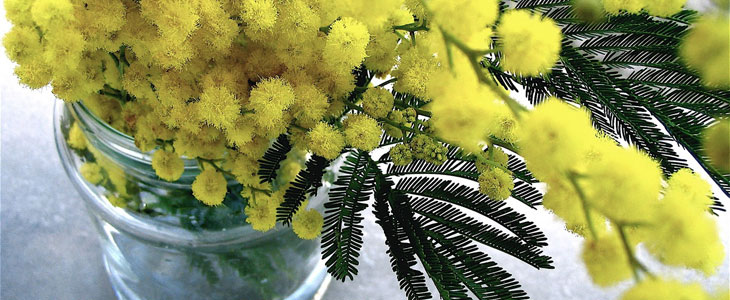 Le Mimosa - Le Messager du Printemps - Culture et Entretien Mimosa