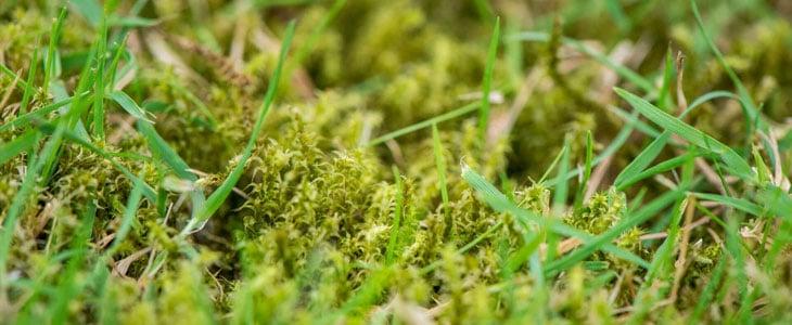 mousse dans le gazon au printemps