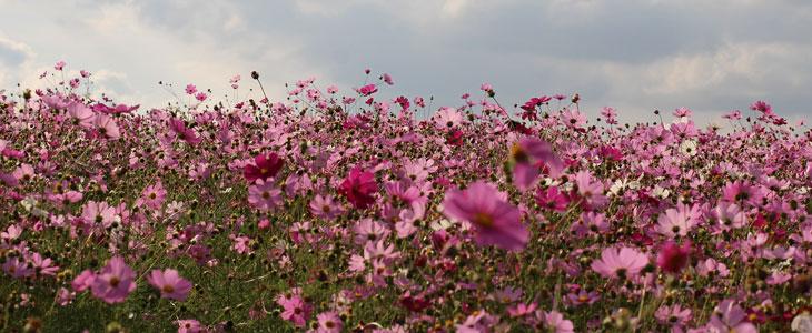 Cosmos - Des Semis à la Floraison, tous Savoir sur L'entretien des Cosmos