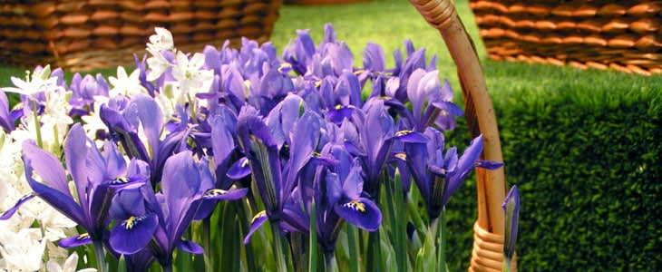 iris bulbeux