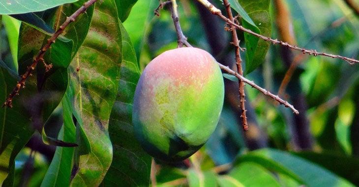 fruits exotiques au potager mangue