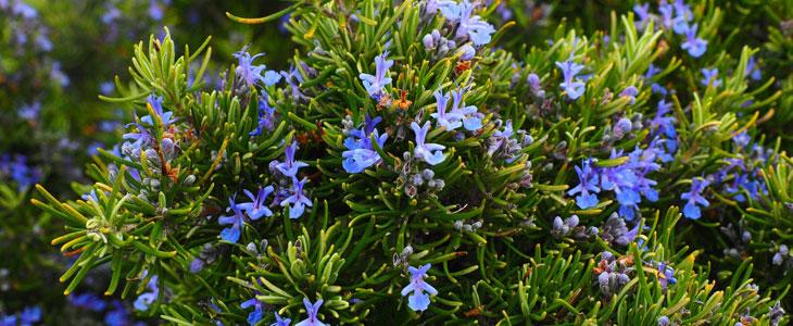 aromatiques au printemps