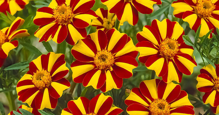 Oeillet d'inde fleurs à planter en été