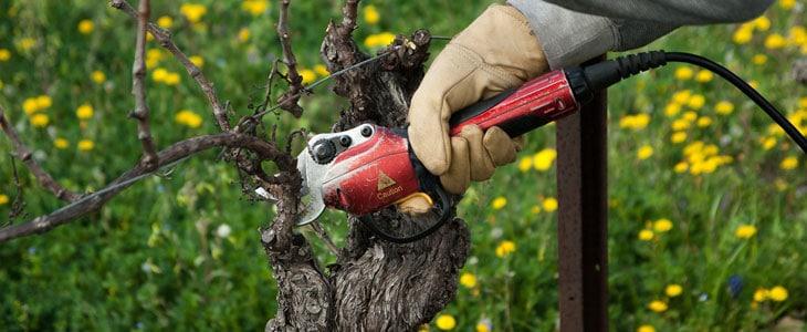 tailler sa vigne en été