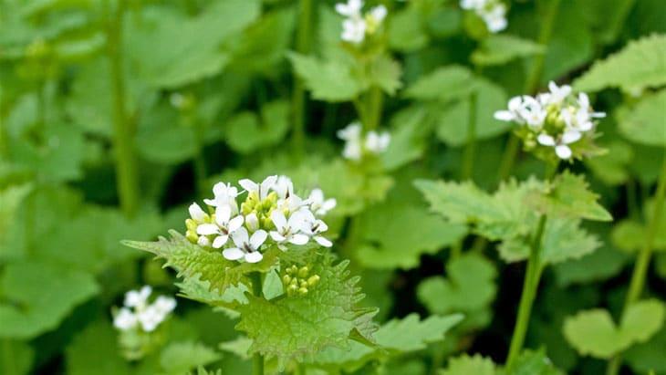 plantes sauvages comestibles alliaire