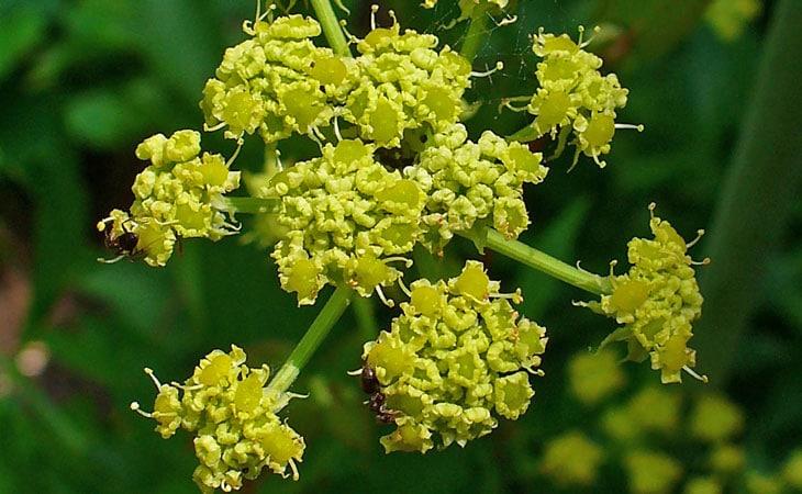 plantes sauvages comestibles livèche