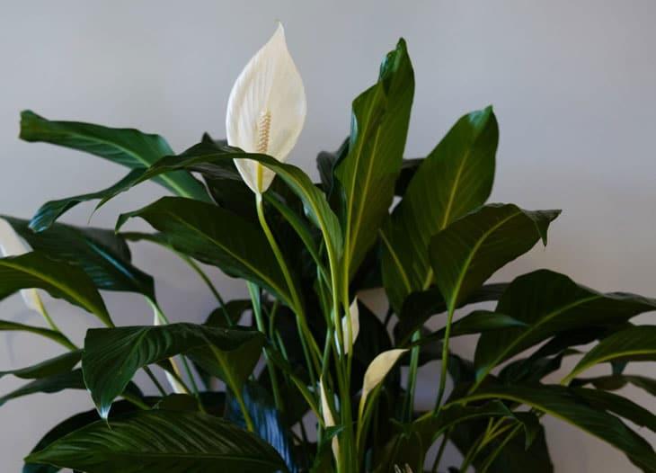 lys de paix ou spathiphyllum