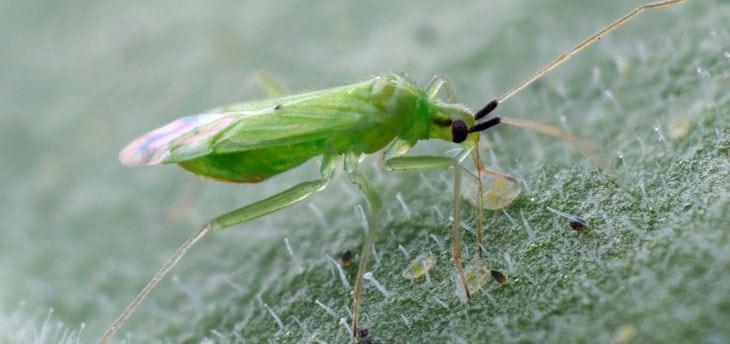 Macrolophus pygmaeus - lutte biologique contre les aleurodes