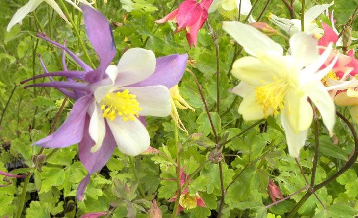 ancolie fleurs qui ne craignent pas l'hiver