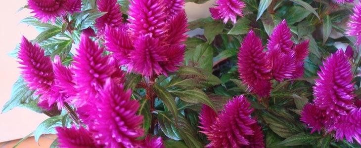Comment Planter la Célosie - Comment Cultiver la Célosie