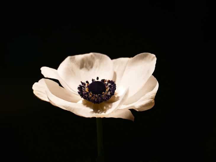 Anemomes fleurs du vent - Anémone Fleur