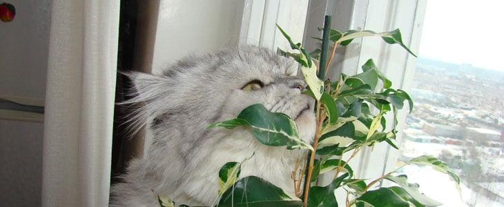 Ficus Exterieur - Ficus Culture Entretien