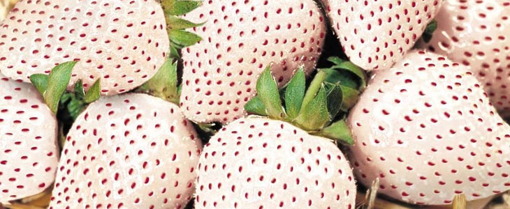 fraises blanches