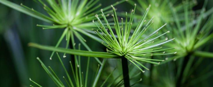 Papyrus Plante - Papyrus Bouture