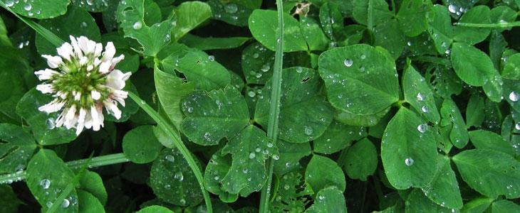 Trefle engrais vert