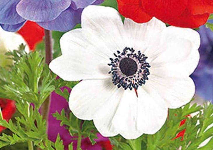 anemone de caen - fleurs des fleuristes