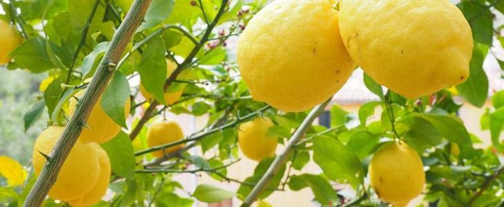 Citronnier des 4 Saisons - Comment Prendre Citronnier 4 Saisons