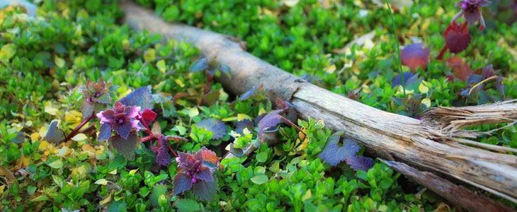 Plantes Sauvages Mais Utiles - Plantes Sauvages dans le Jardin