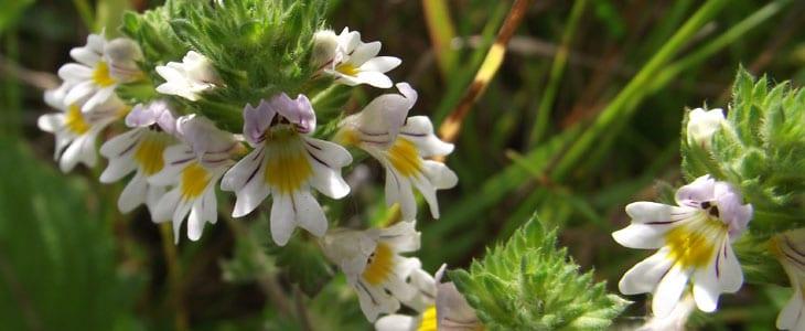 Euphrasia officinalis - Casse-Lunette