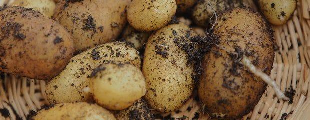 cultiver patates en pot