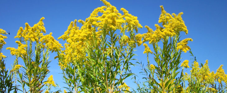 Solidago - Verge d'or