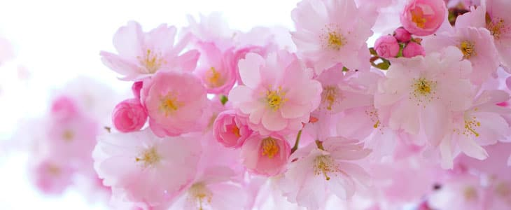 cerisiers à fleurs