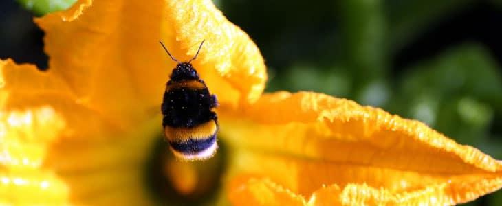 Pollinisation des Courgettes - Planter Courgette