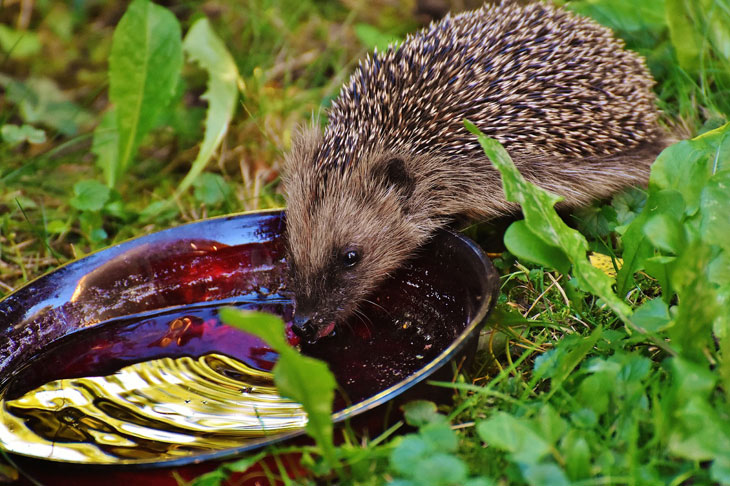 Hérisson Nourriture - Hérisson dans Mon Jardin