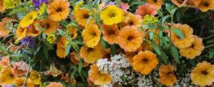 fleurs au mois de juin