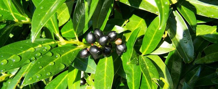 Vertillicium du Prunus laurocerasus - Maladie du laurier Cerise