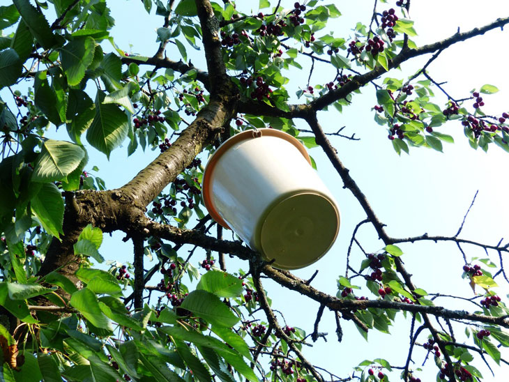 soins des fruitiers en été