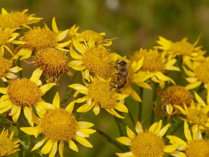 Arnica - Fleur d'Arnica