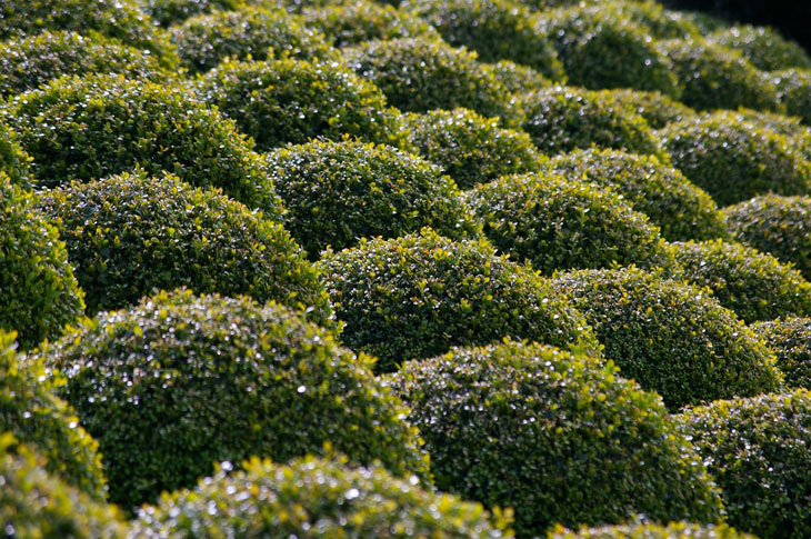 Buis -le buis structure votre jardin