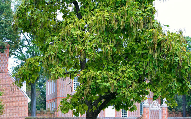 Catalpa - Catalpa- arbres pour avoir de l'ombre