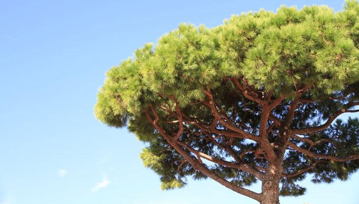arbres pour avoir de l'ombre en été pin parasol