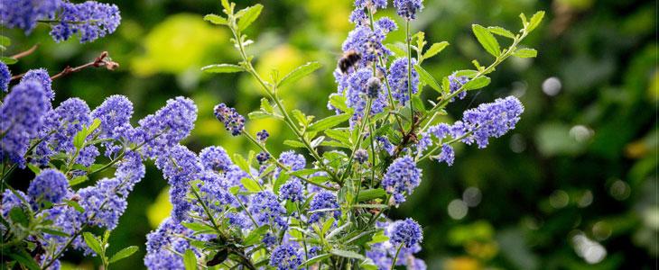 Planter un Arbuste en Fleurs - Acheter un Arbuste en Fleurs