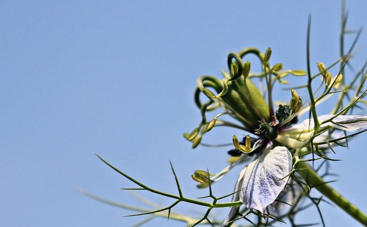 Cumin - fleur de cumin noire