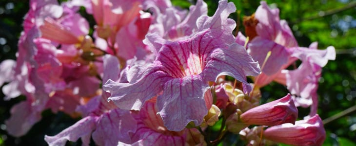Bignone Fleur - Bignone Plante