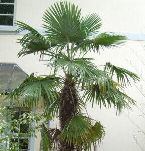 Trachycarpus_fortunei-palmiers-résistants